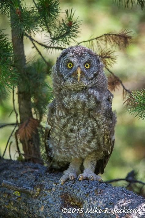 187 great horned and great gray owls best of the tetons