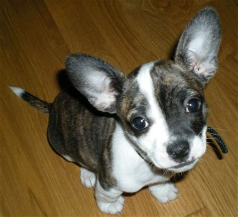 boston terrier mix puppies boston huahua boston terrier chihuahua mix info puppies pictures