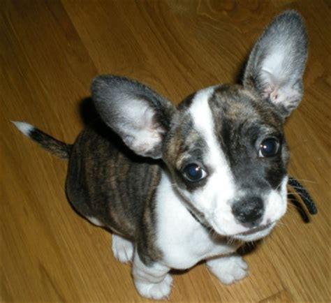 boston terrier chihuahua mix puppies boston huahua boston terrier chihuahua mix info puppies pictures