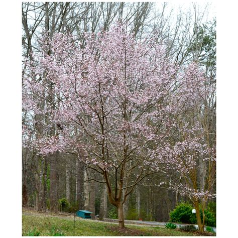 autumn flowering cherry autumn flowering higan cherry tree potted 3 pack