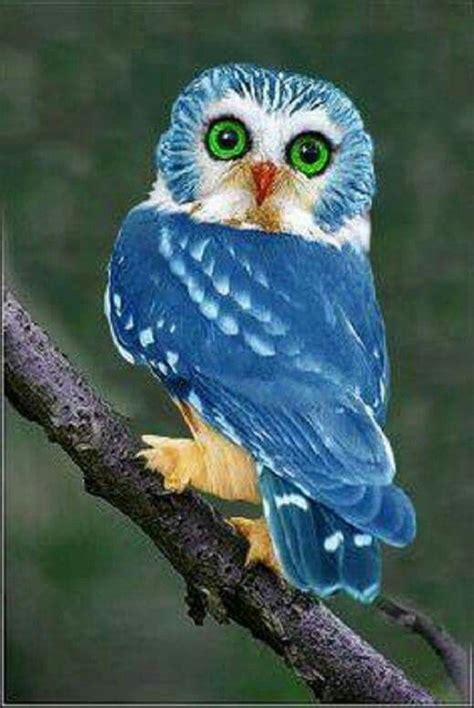 Blus Colour Owl Xl blue owl a breed of owl from the philippines only 250 of this and colour in the