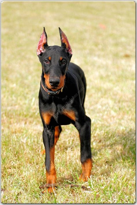 doberman puppies illinois 25 best ideas about doberman breeders on doberman breed doberman dogs