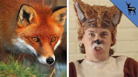 Like A Fox by Fox Like 28 Images Looks Like A Fox Breeds Picture