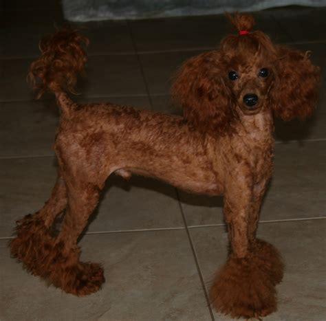 poodles miniature poodle toy poodle housetrained poodles