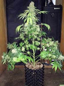 tree to plant complete guide to cannabis plant grow easy