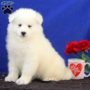 puppies for sale in nj 300 samoyed puppies for sale nj driverlayer search engine