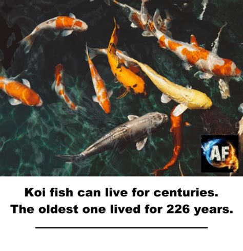 koi fish and new year 25 best memes about koi fish koi fish memes