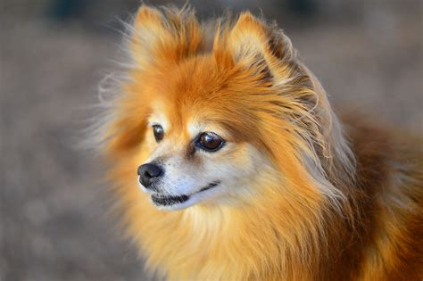 how to take care a pomeranian puppy how to take care of a pomeranian
