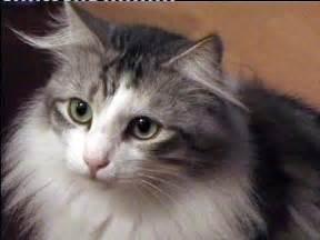 fotos de gatos gatos angora gemelos jpg pictures to pin on pinterest ra 231 as de gato o gato angor 225 lalashowbil