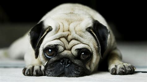 pug backgrounds for desktop wallpapers hd pug imagui