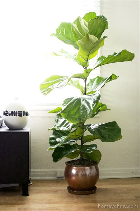 fiddle leaf fig fiddle leaf fig tree homey oh my