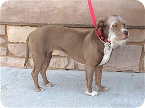 pitbull mixed with shih tzu shih tzu pitbull mix lab breeds picture