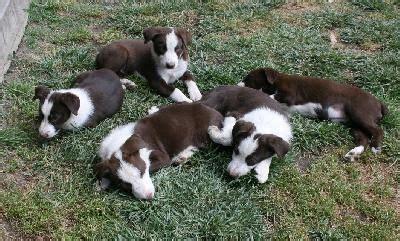 mcnab puppies pin by darren driscoll on mcnab