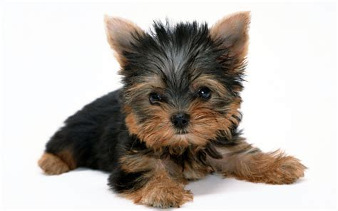 yorkie forums yorkie puppies wallpaper 1680x1050 14647