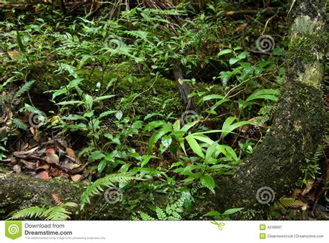 Plants In The Emergent Layer Of The Tropical Rainforest - rain forest floor plants royalty free stock photography image 4246697