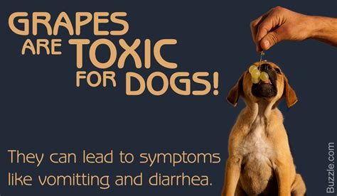 are bad for dogs are grapes bad for dogs find out here