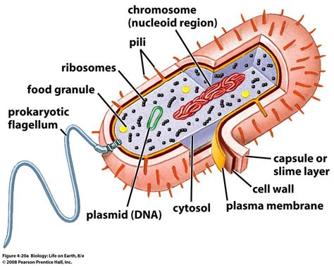 diagram of bacterial cell structure prokaryotic cells