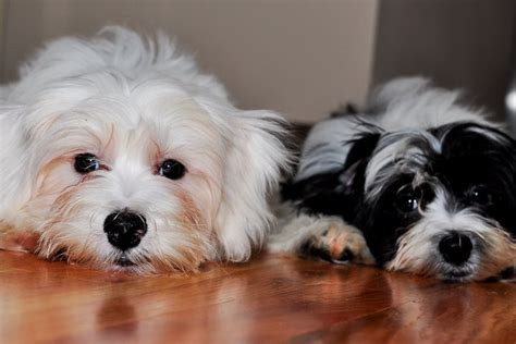 havanese puppies adoption pin havanese puppies adoption image search results on