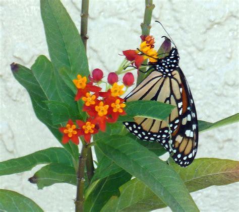 Sanibel Island Botanical Garden Monarch Butterflies Our Sanibel Island Botanical Gardens Sanibel Moorings