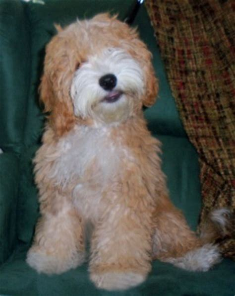 Labradoodle Do They Shed by Our Dogs Labradoodles Dogs Australian Autism Asd Non Shedding