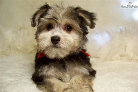 haircuts for yorkie poos yorkie poo hair cuts breeds picture