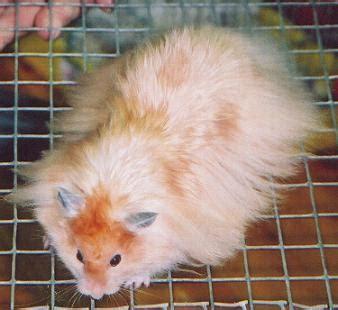 Hamster Syrian Hitam hobby lifestyle spesiale pojokane indranesta