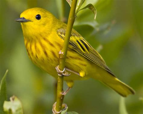 bird l yellow warbler audubon field guide