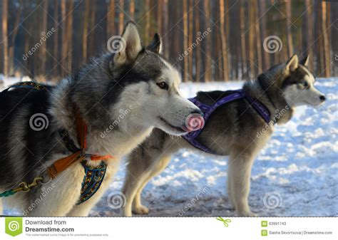 sled breeds siberian husky puppy on sled 1 by sub18lime on deviantart news