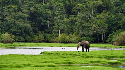 an forest elephant returns from the in gabon no place is safe for africa s hunted forest elephants science aaas