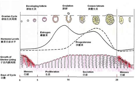 menstrual cycle after c section first menstrual cycle after c section 28 images first