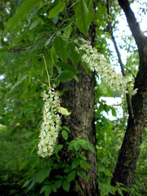 black cherry prunus serotina flora pittsburghensis