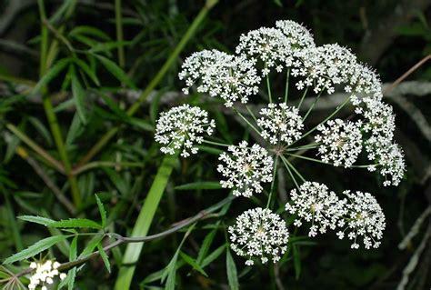 imágenes de flores venenosas plantas venenosas las m 225 s peligrosas del mundo
