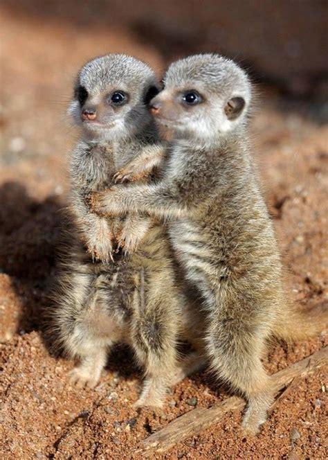 cuddling meerkats pixdaus