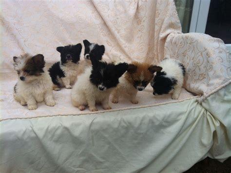 papillon shih tzu shih tzu papillon mix puppies breeds picture