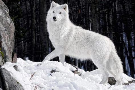 imagenes de lutos blancos d 243 nde vive el lobo su h 225 bitat natural y su entorno