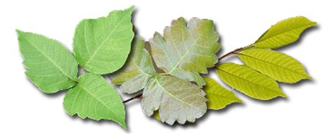poison ivy oak and sumac information center www kids safety poison ivy lasalle county