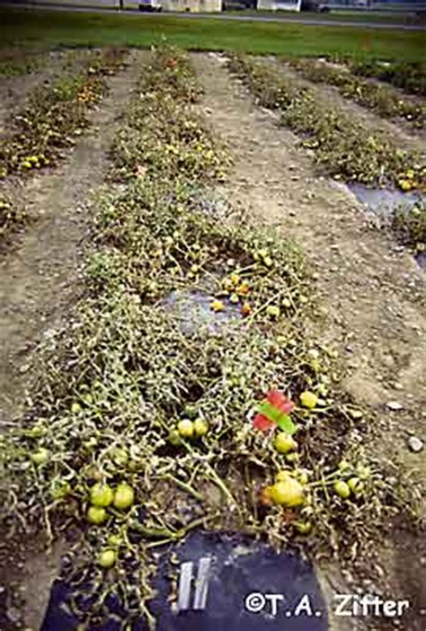 plant disease epidemics symptoms of late blight on tomato plant