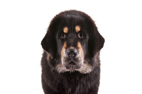 tibetan mastiff dog breed information american kennel club