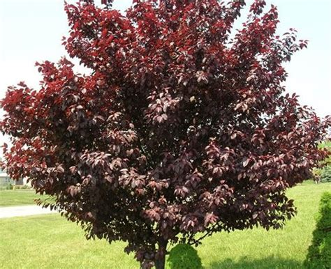 purple leaf trees identification plum trees cherry plum tree with purple leaves landscaping ideas plants