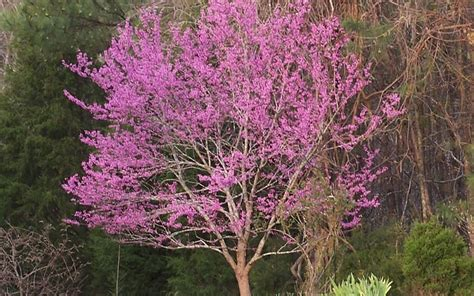 eastern redbud tree picture gardenality