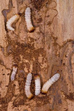 rid  woodwormfurniture beetle problems woodworm