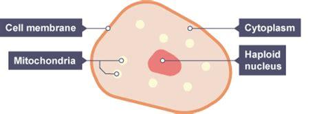 structure   gametes general revision  gcse