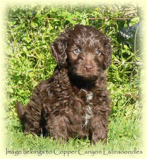 mini labradoodle puppies for sale nc mini chocolate labradoodle puppies miniature f1 chocolate breeds picture