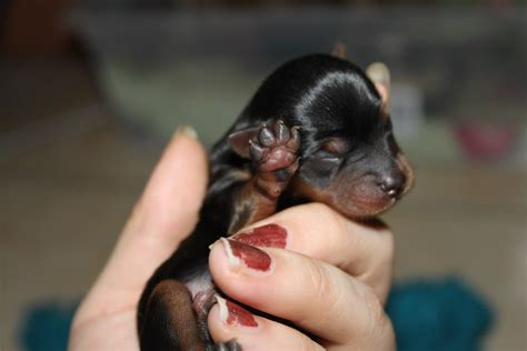 baby puppys image gallery newborn baby born puppies