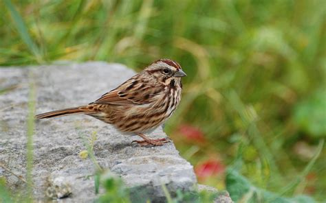suzanne britton nature photography song sparrow