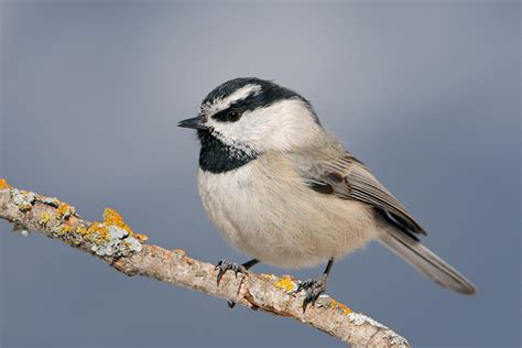 mountain chickadee 6