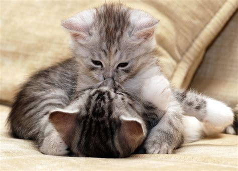 cat kiss wallpaper kittens kiss 2834 x 2048 animals photography