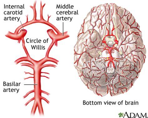brain blood supply diagram circle of willis medlineplus encyclopedia image