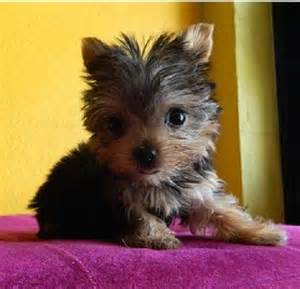 Genuine tiny teacup size yorkies available for adoption offer south