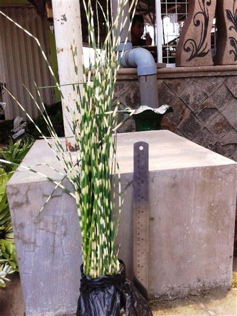 jual tanaman hias daun bambu air kuning  lapak daco